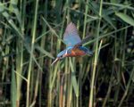 View News Story - High speed imaging used to capture kingfisher diving
